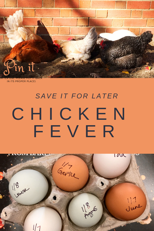 Chicken Fever #chickens #backyardchickens #fresheggs #eggs #chickendustbath #Chickens