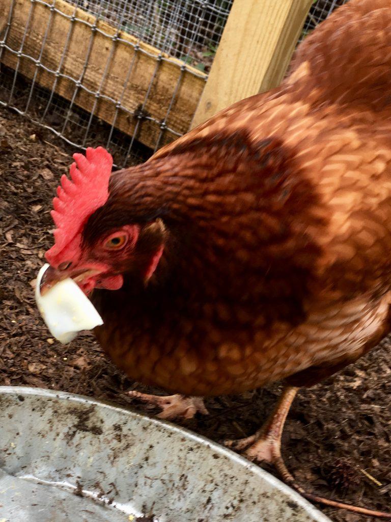 Perfect-Hard Boiled Eggs #hardboiledegg #eggs #instapot #chickens #rhodeislandred #Backyardchickenes #backyardpoultry #mypetchicken