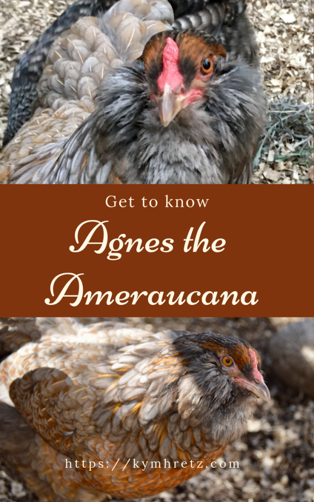 Agnes the Ameraucana chicken #chickens #freerange #fresheggs #chicks #chooks #eggs #backyardchickens #backyardpoultry #ameraucana #hens #homesteading #raisingchickens #whatmychickenseat #whatifeedmychickens