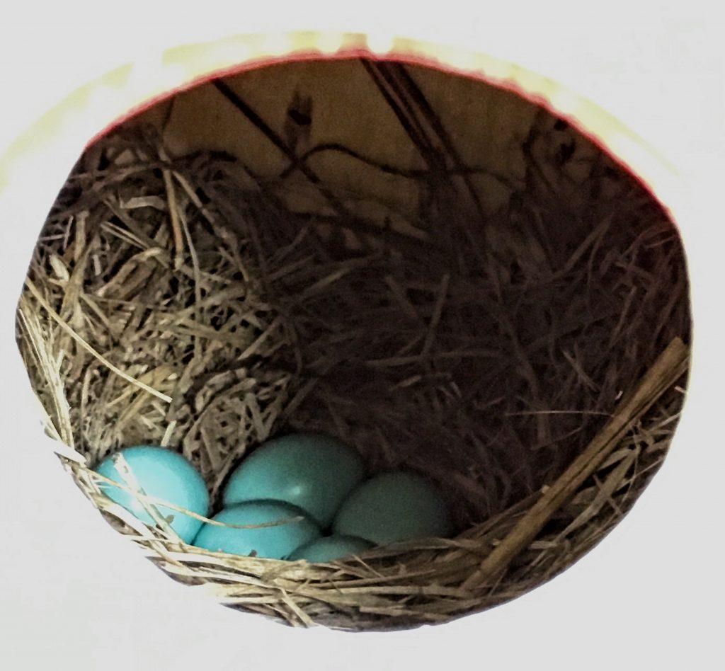 #easternbluebird #eggs #flyawayhome #birdhouse #nesting #housefinch #birdwatching #birdwatch2019
