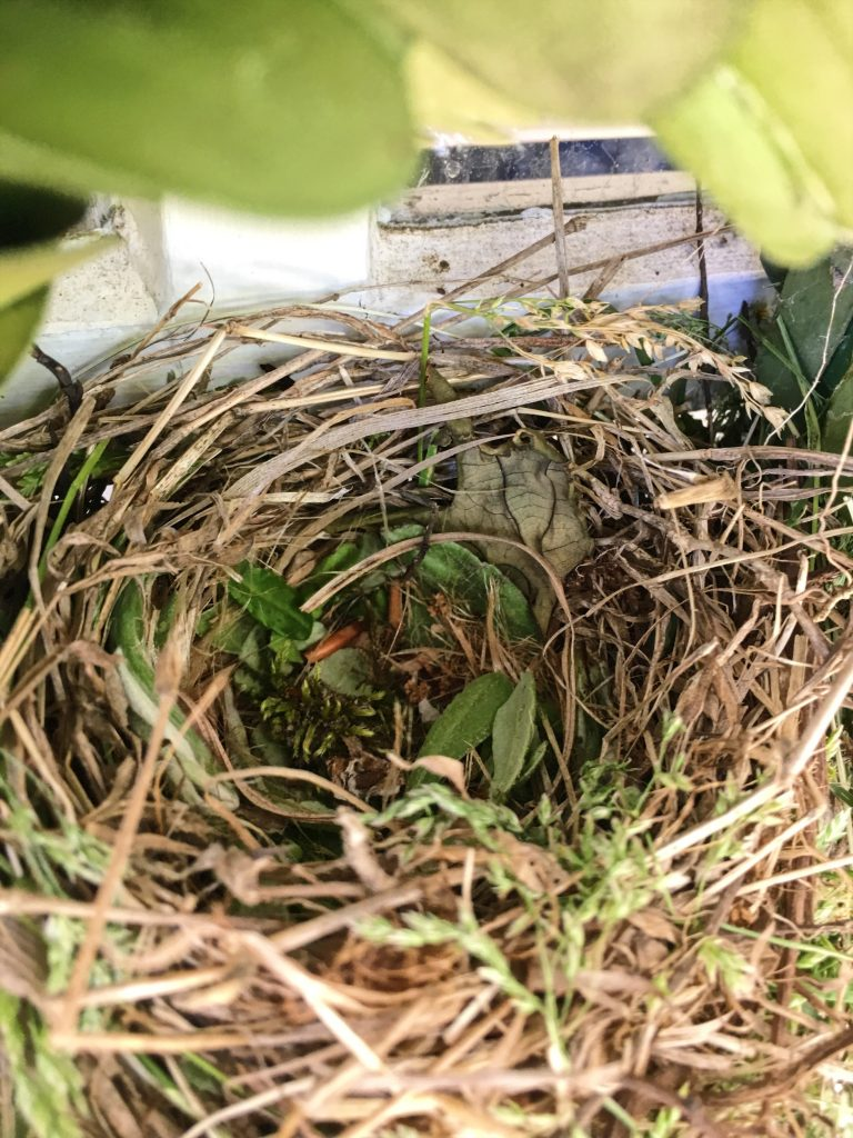 house finches #housefinch #eggs #flyawayhome #birdhouse #nesting #fairyhouse #fairies #birdwatching #birdwatch2019 #target #smithandhawkin