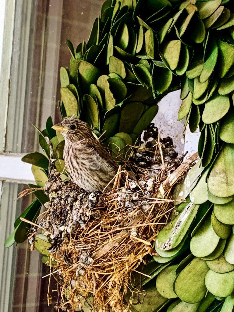 #targetstyle#target#smithandhawking#wreath#birdwatch2019#nesting#spring#fledging#housefinch